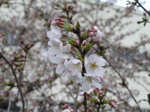 Sakura060326