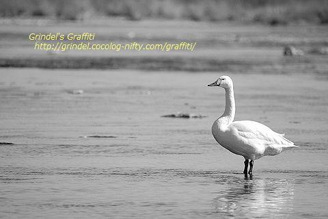 Swan160211standing