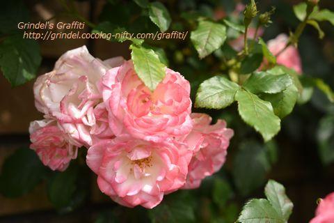 Rose160508minatooka1