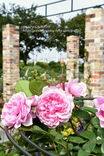 Rose160508minatooka2