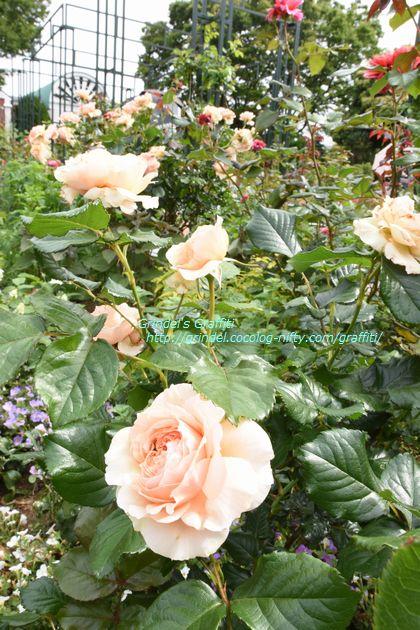 Rose160508minatooka3